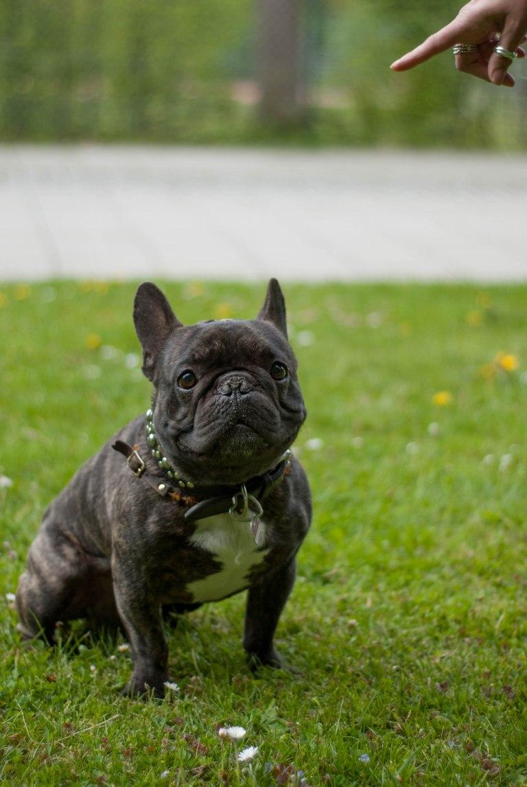 Bulldogge2.jpg